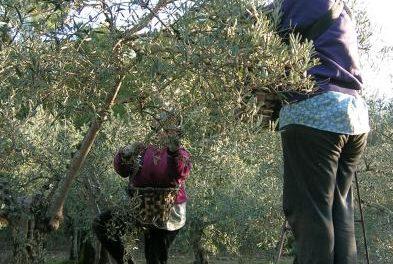 Los olivareros piden controles tras sufrir en los últimos días una ola de robos de más de 40.000 kilos