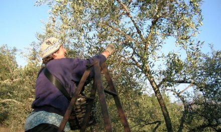 El aceite Gata-Hurdes entra en el listado comunitario de denominaciones de calidad protegida