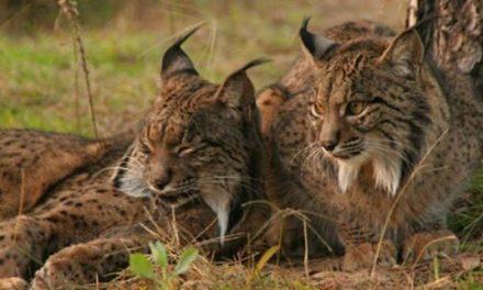 Ecologistas Granadilla solicita la reintroducción del lince en Sierra de Gata, Hurdes, Ambroz y Trasierra