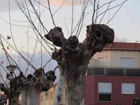 Vettonia denuncia las podas «irracionales» en los árboles de Moraleja y exige que se paren estos trabajos