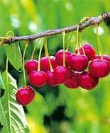 Las cooperativas del Valle del Jerte han iniciado la venta navideña de cerezas de importación de Chile