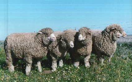 La Diputación de Cáceres convoca una nueva adjudicación de ganado ovino de la raza merino precoz