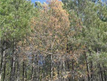 Detectan un foco del nematodo de la madera del pino en un monte público de Valverde del Fresno