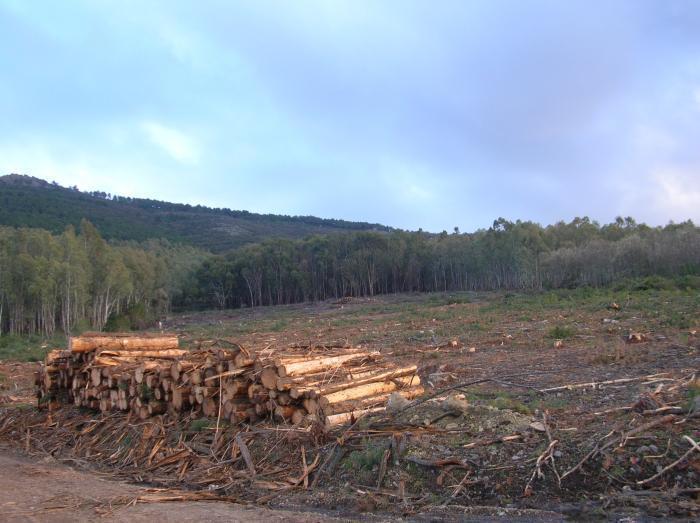 El nematodo del pino obligará a someter a la madera a un tratamiento antes de comercializarla
