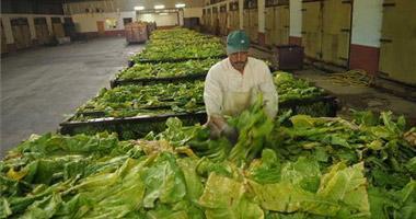Mella inicia esta semana la compra de los tres millones de kilos de tabaco de las cooperativas cacereñas