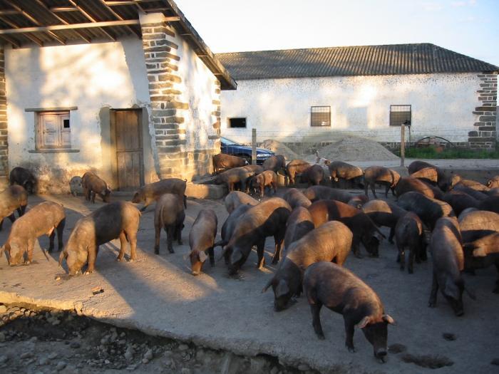 El sector del cerdo ibérico genera más de 360 millones de euros en la región y es el 21% de la renta final agraria