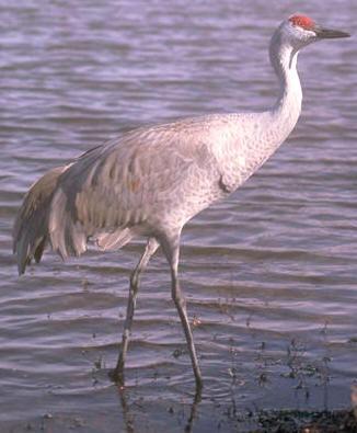 El embalse de Borbollón prepara actividades sobre grullas y aves invernantes para enero y febrero