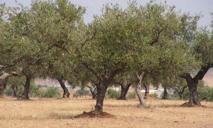 Agricultura reúne la Mesa del Olivar para impulsar un documento de defensa del sector ante el Ministerio