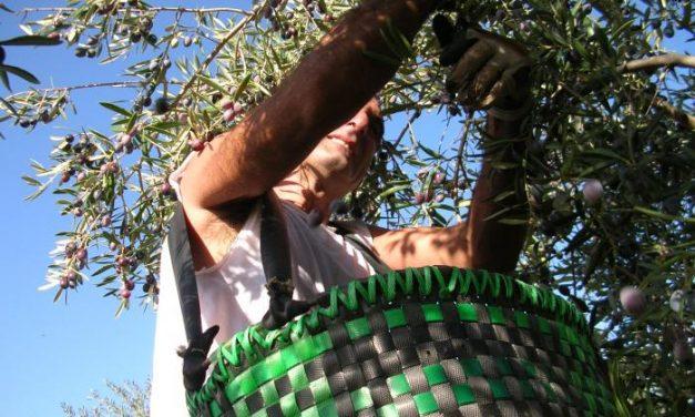La producción de aceite de oliva en noviembre fue de 81.400 toneladas, un incremento del 27,4 %