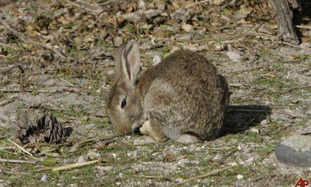 Apag Extremadura Asaja alerta de los daños producidos por conejos en cultivos de Tierra de Barros