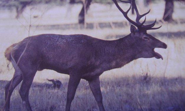 Ecologistas en Acción de Granadilla pide la translocación de ciervos de Monfragüe a Granadilla