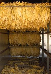 El sindicato UGT pide la prórroga del sistema de ayudas al cultivo del tabaco hasta el año 2013