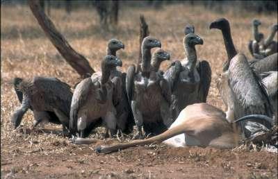 Un grupo de expertos aboga por la creación de comederos para aves carroñeras con cadáveres de ganado