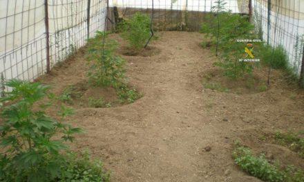 La Guardia Civil descubre una plantación de marihuana en un invernadero en Sierra de Fuentes