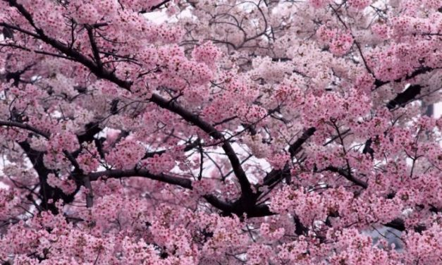 Medio Ambiente estudia autorizar si hay consenso nuevas superficies de cultivo de cerezo y castaño