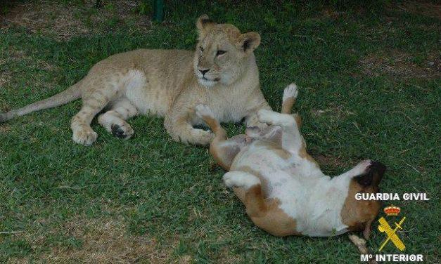 La Guardia Civil interviene una leona que vivía en una finca situada en una urbanización de Badajoz