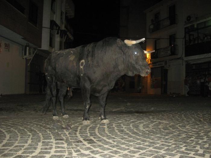 Los primeros festejos taurinos por las calles de Moraleja concluyen sin incidentes ni heridos