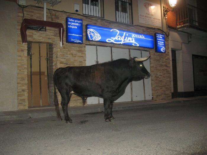 Moraleja congrega a cientos de aficionados en la lidia del toro por las calles sin que se hayan registrado heridos