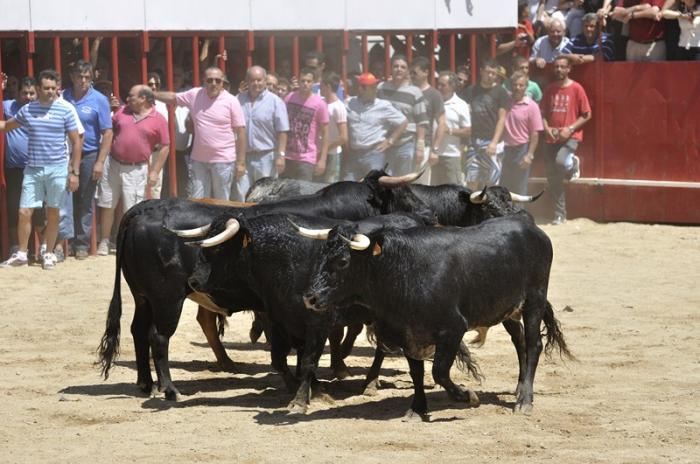 El primer encierro de las fiestas de San Buenaventura en Moraleja se desarrolla con rapidez y sin heridos