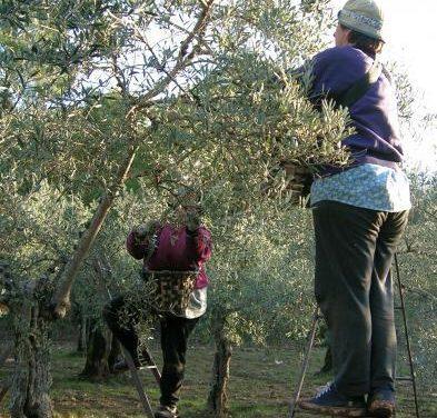 La Guardia Civil detiene aun vecino de Almendralejo como presunto ladrón de 20.000 kilos de aceitunas