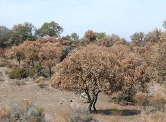 Ecologistas en Acción de Granadilla demanda medidas urgentes para paliar la seca de la encina