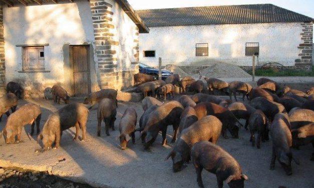 Apag Extremadura Asaja pide una defensa del sector porcino tradicional de Extremadura