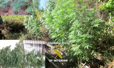 La Guardia Civil aprehende veintitrés plantas de cannabis sativa en una zona de Valencia de Alcántara