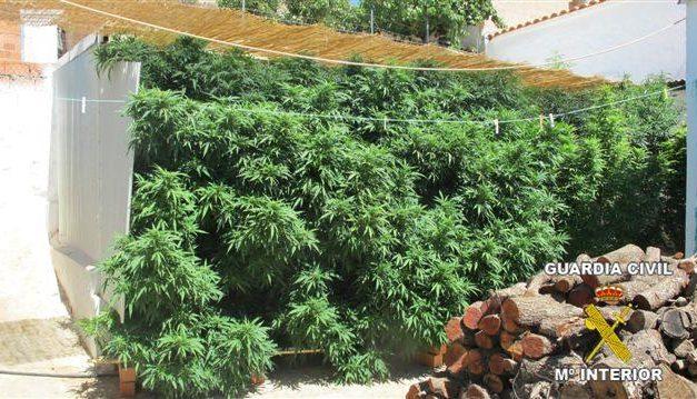La Guardia Civil desmantela una plantación con más de setenta  plantas de marihuana en Benquerencia