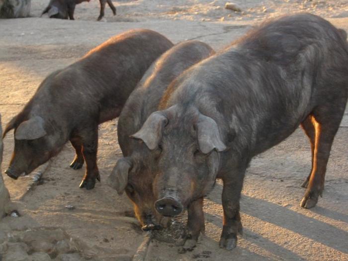 UPA-UCE apoya la decisión de cancelar la subasta de porcino ibérico en la próxima Feria de Zafra