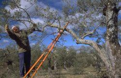 Los olivareros pueden recibir 15 millones de euros correspondientes al  IVA de las subvenciones