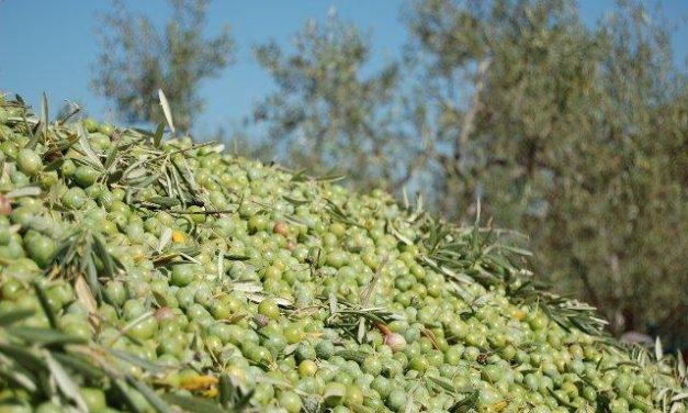 Acenorca prevé una reducción del 50% de la cosecha de aceituna en el norte de Extremadura