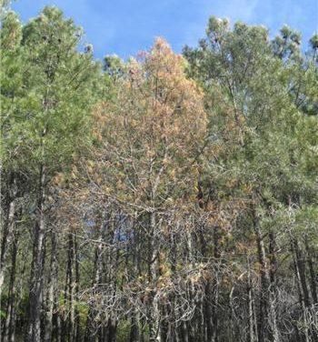 Las medidas para erradicar el nematodo del pino en Sierra de Gata se prolongarán durante cuatro años