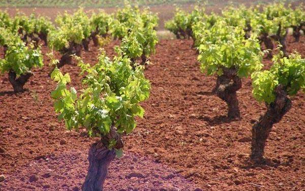 Agricultura completa el pago de ayudas de reestructuración de viñedos con 16 millones de euros