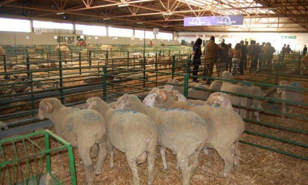 La Feria Agroganadera de Trujillo subasta este sábado casi 400 cabezas de ovino con buenas perspectivas