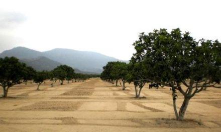 Un estudio destaca a España como principal productor de higos de la Unión Europea y noveno a nivel mundial