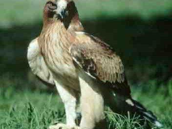 La comarca de Sierra de San Pedro acoge este sábado una ruta ornitológica sobre rapaces