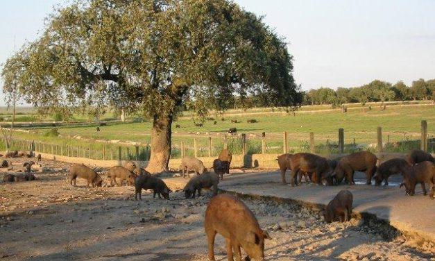 Extremadura reclama que la norma del ibérico recoja en el etiquetado la región de procedencia del animal