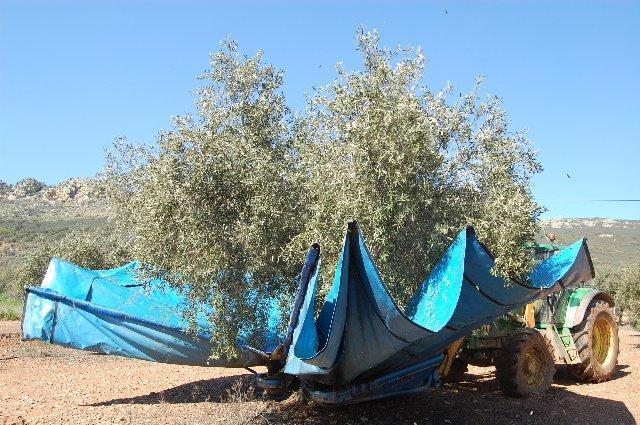 La Milagrosa de Monterrubio reducirá su cosecha de aceituna un 75% con respecto al año anterior