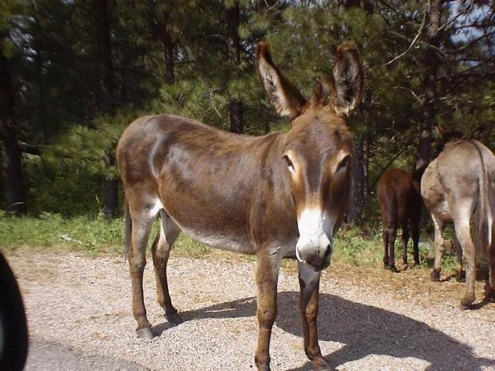 Los criadores extremeños de burros de raza andaluza adoptan medidas para salvar la raza