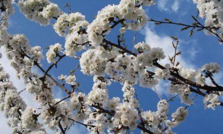 Las cooperativas del Jerte piden un esfuerzo al sector turístico para satisfacer a los visitantes del cerezo