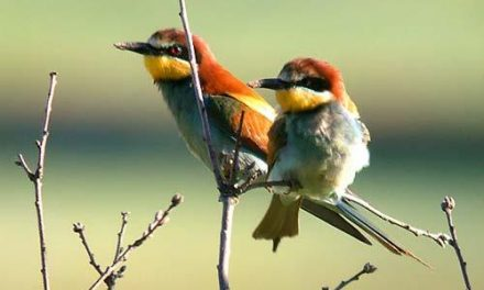 El Ayuntamiento de la ciudad de Coria formará en ornitología a empresarios del sector turístico