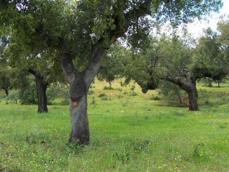 IPROCOR abre el plazo para solicitar el plan de calas para la campaña de descorche de alcornoques 2013