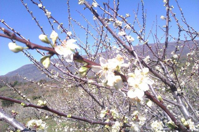 El retraso en la floración del cerezo obligará al Valle del Jerte a agilizar la llegada a los mercados de las picotas