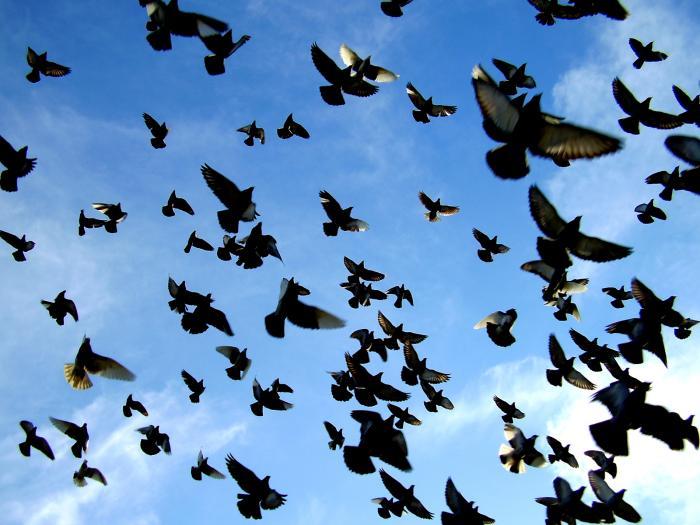 Cerca de mil palomas han volado desde Moraleja hasta Valencia en el Campeonato Nacional de Colombofilia