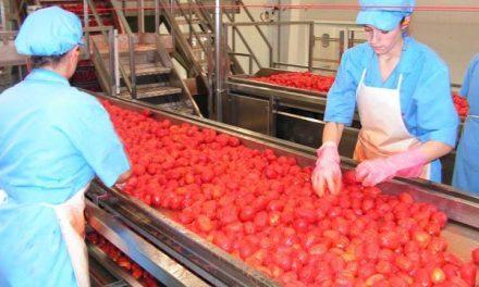 El volumen de tomate contratado por las industrias extremeñas bajará más de un 10% esta campaña