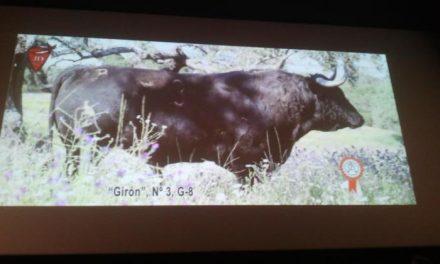 Coria celebrará las fiestas de San Juan 2013 con la lidia de once toros, un novillo y una vaca