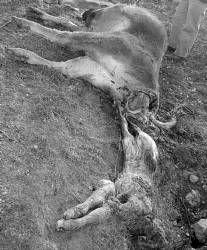 Los ganaderos de Alburquerque denuncian el gran número de ataques de buitres a sus animales
