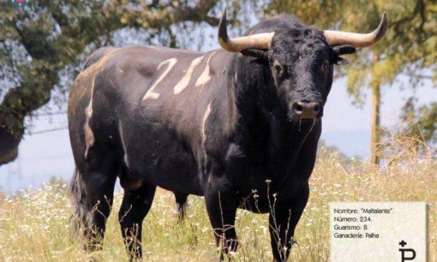 La lidia del primer toro de madrugada de San Juan en Coria finaliza sin incidentes ni heridos