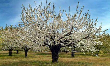 La popular y multitudinaria Fiesta del Cerezo en Flor arrancará el día 28 de marzo en Casas del Castañar