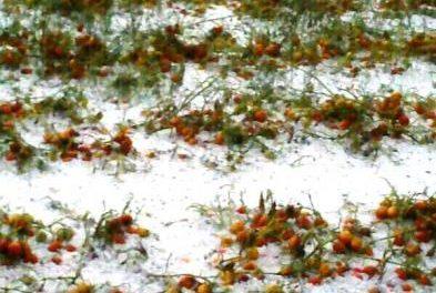UPA-UCE lamenta los daños que el granizo ha causado en explotaciones agrarias de la región extremeña